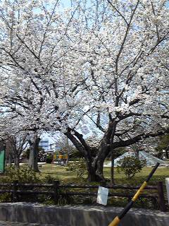 桜(今週).jpg