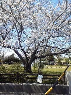 桜(先週).jpg
